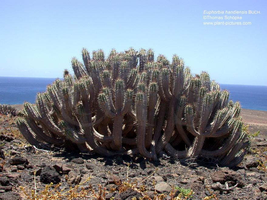 Malpighiales [Magnoliopsida Rosidae] ~ 01163053_Unterschied Sukkulente Xerophyten
