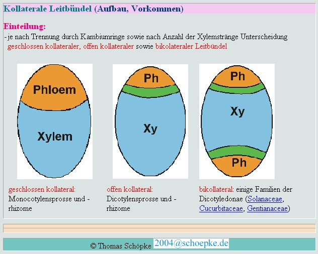 plant phloem